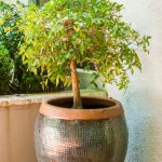 6 Trees Ideal For Containers Sa Garden And Home