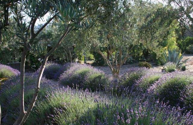 Olive trees garden celebrations for Trees garden of jane delawney blogspot