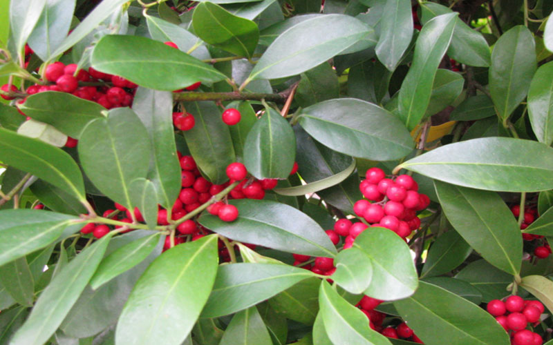 Different Types Holly Trees