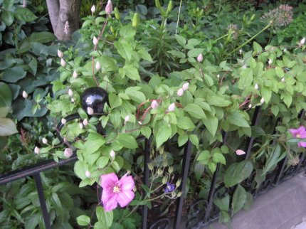 Clematis on Railing, Commonwealth Avenue