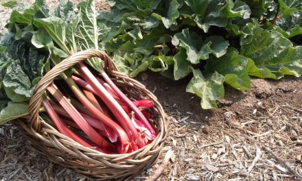 Growing Rhubarb: Why Isn't It Red?