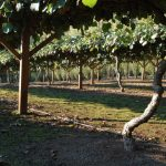 Grow Your Own Kiwi Berries