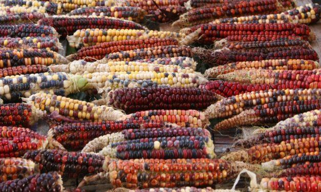 Grow Versatile, Edible Indian Corn