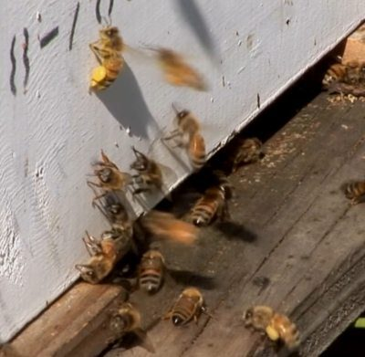 Fungicide Identified: Almond Pollination Shortens Honey Bee Lives