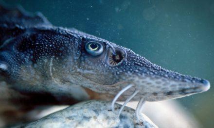 Caviar: An Aquaponics Crop?