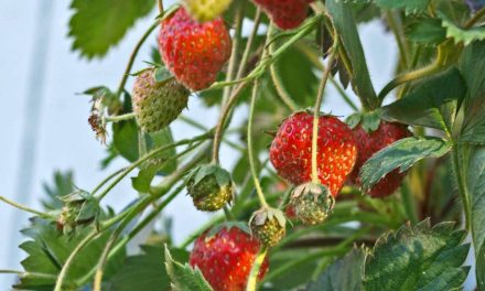 Best DIY Hydroponic Strawberry Tower