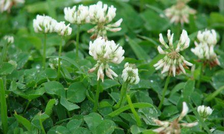 3 Edible Weeds