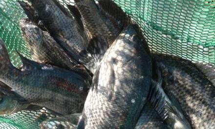 Beware of Fish Rustlers