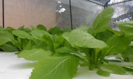 Grow Pak Choi Indoors