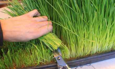 Growing Better Wheatgrass