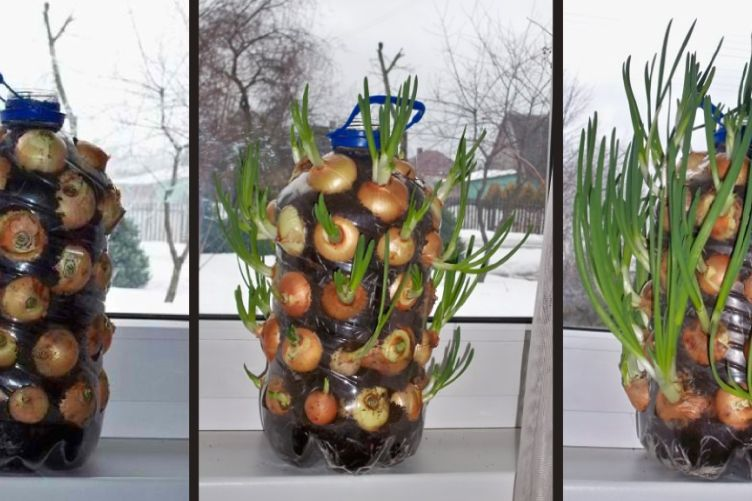 Growing Onions from Scraps, Pieces & Waste