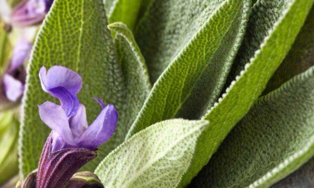 How to Grow Sage… Anywhere