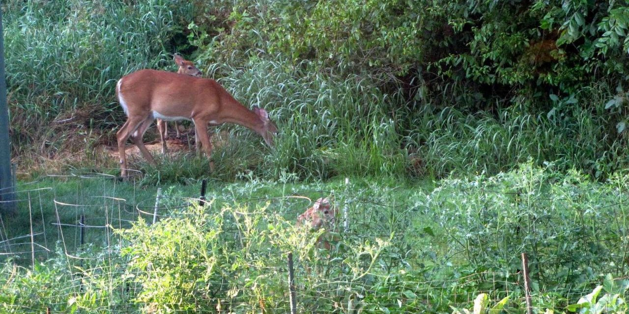 Deer Out of The Garden