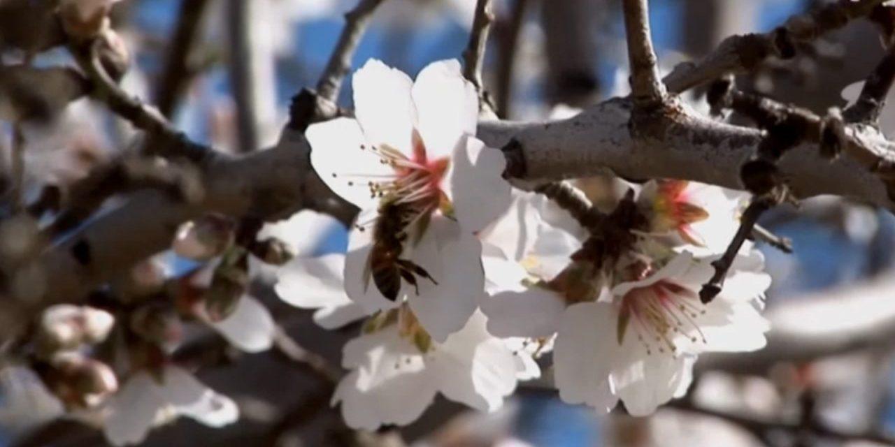Almond Fungicide Threatens Honey Bees