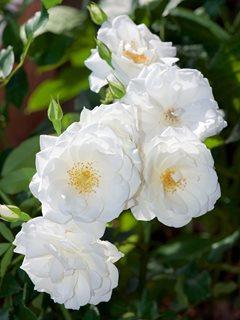 How To Grow Climbing Roses In Your Garden Garden Design