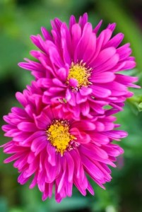 Asters  How to Grow  Care  and Design with These Fall Flowers      Carnival  aster   Photo by  Richard Bloom