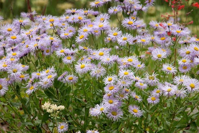 Asters  How to Grow  Care  and Design with These Fall Flowers     Western Aster  Symphyotrichum Ascendens  Purple Flower Shutterstock com New  York  NY