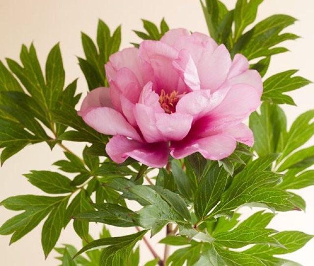 First Arrival Peony Pink Flower Garden Design Calimesa Ca