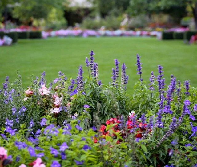 Purple Flower Flower Border Lawn Garden Design Calimesa Ca