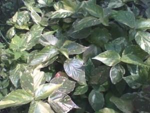 Acalypha java white