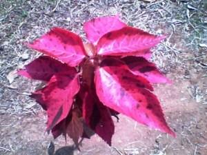 Acalypha musaica