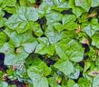 English_ivy_leaves