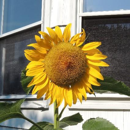 Best Sunflower Accessories Kitchen