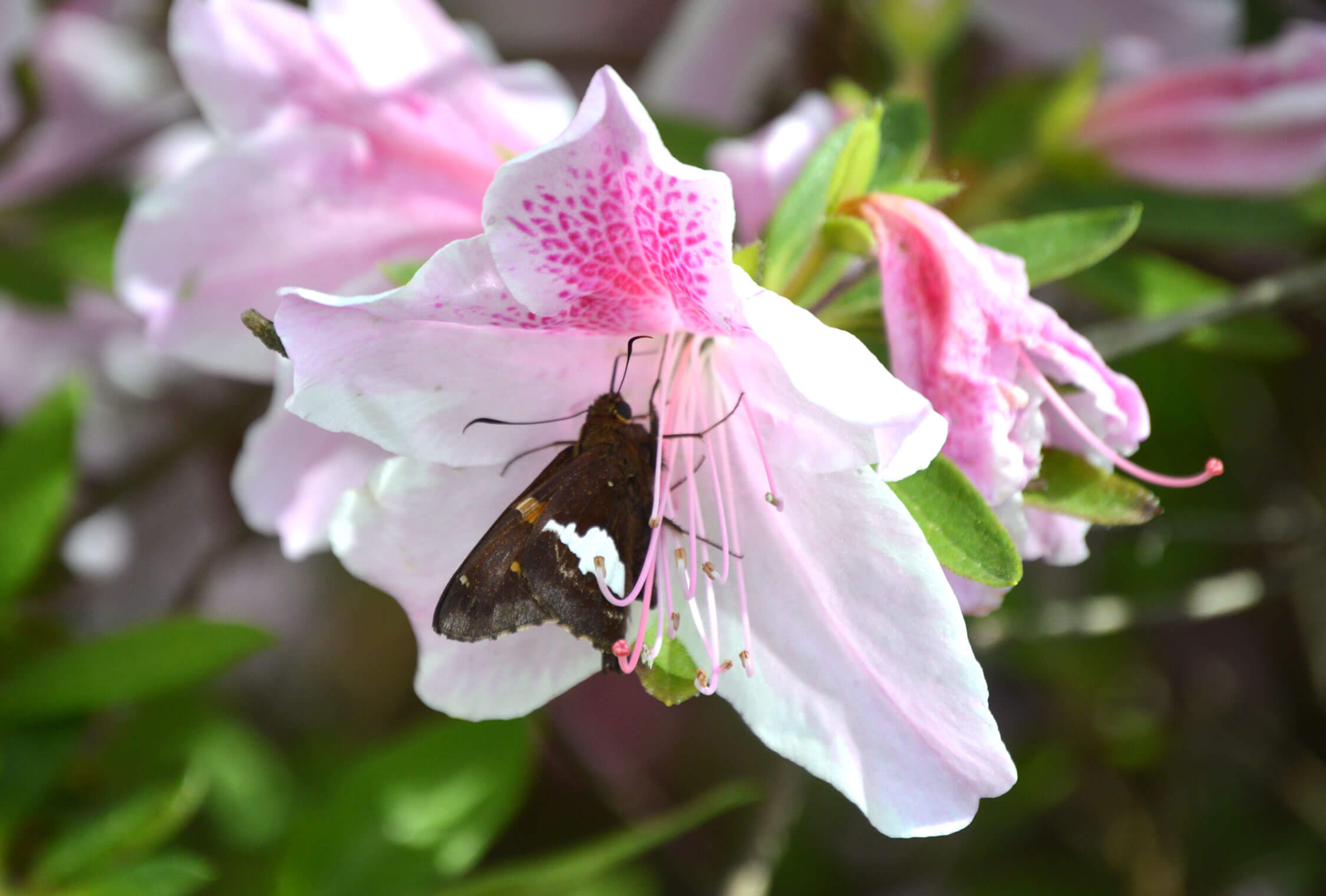 Silver-spotted skipper on azalea
