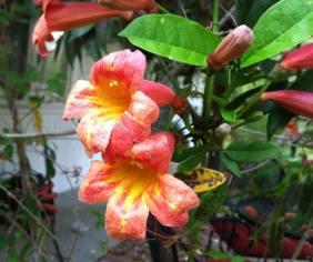 Close up of Crossvine Flowers