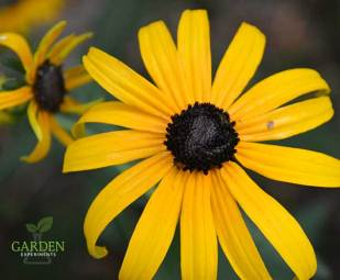 Single black-eyed Susan flower against a dark background