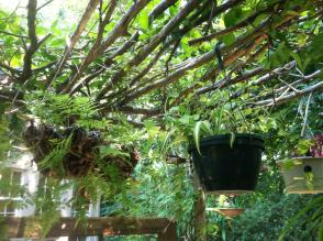 Pots hanging from the arbor
