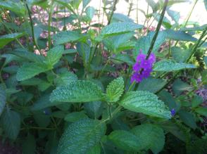 purple-plant