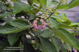 Beautyberry Flowers