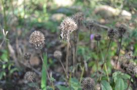 Echinacea seeds are fed upon by birds