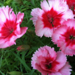 Dianthus with pink and red center