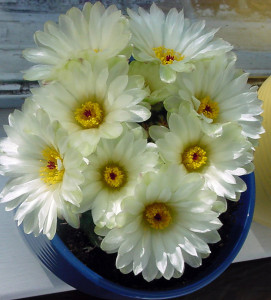 This was the year I had a very happy cactus. It sat soaking up the sun and warmth in the windowsill. Since I planted it outside in the rock garden it still blooms, but not nearly as profusely. I believe it is a Notocactus.