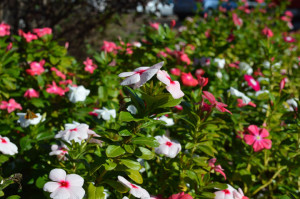 Red, white and pink vincas