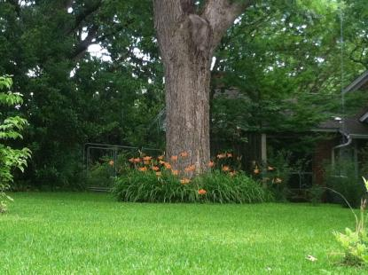Daylilies make a nice border around the tree but require a decent amount of sun