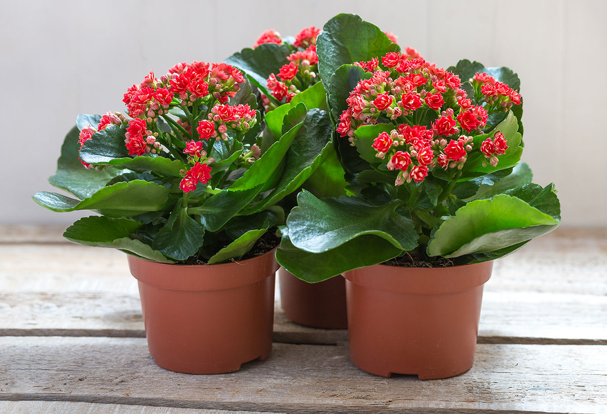 Kalanchoe plants with red flowers in brown pots on a wooden table