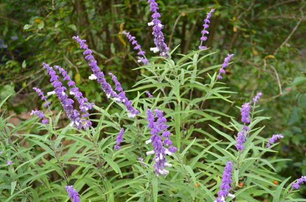 Mexican Salvia – Salvia leucantha