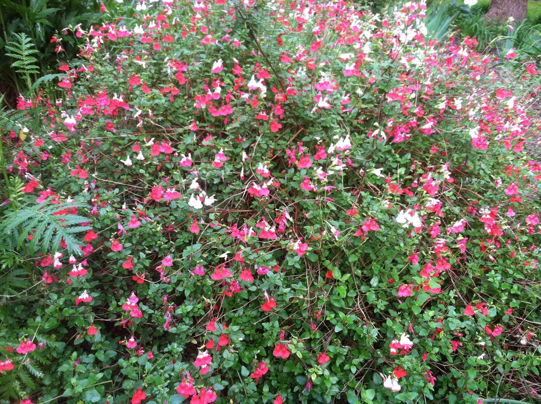 Salvia mycrophylla in full bloom