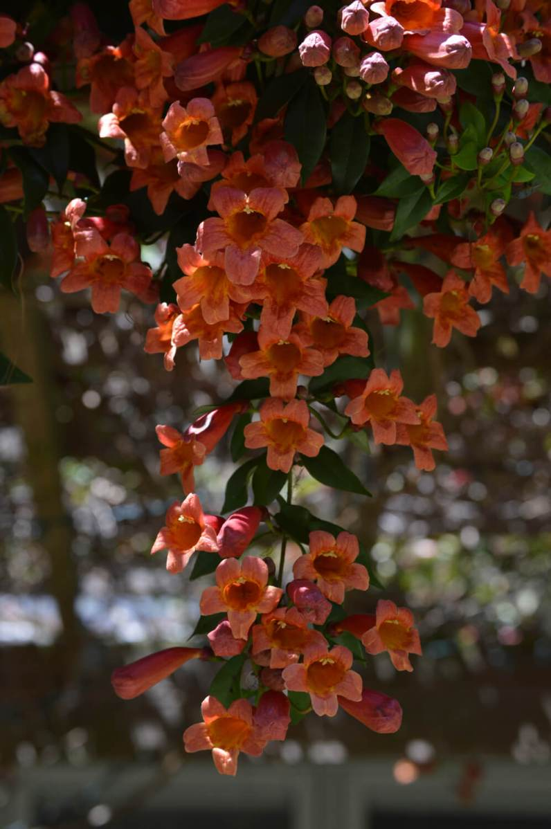 Crossvine blooms on the arbor