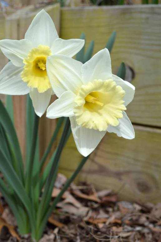 Daffodils with pale yellow centers