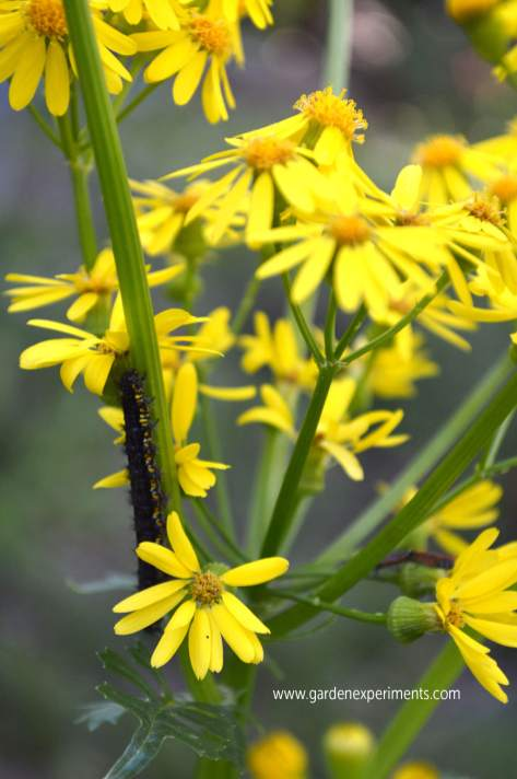 butterweed-caterpillar