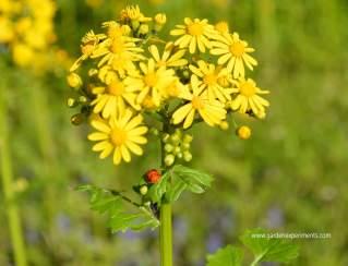 butterweed-ladybug
