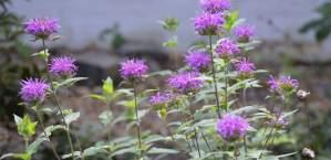 Attract Hummingbirds and Butterflies with Bee Balm (Monarda spp)