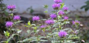 Attract Hummingbirds and Butterflies with Bee Balm (Monarda spp)