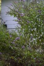 Butterfly bush - year 3
