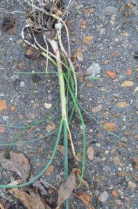 wild-garlic3