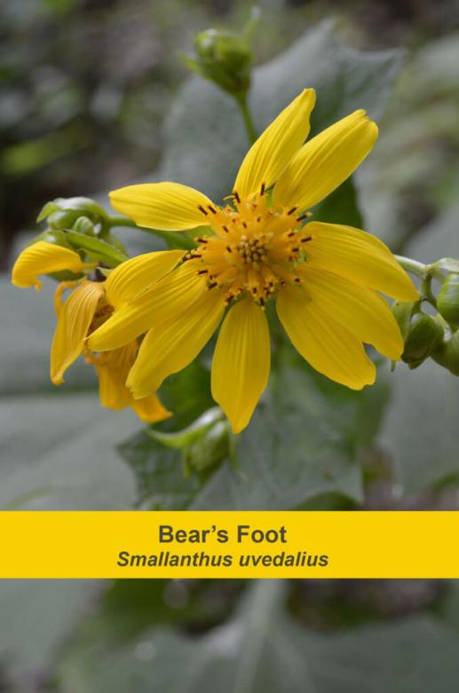 Bear's Foot, Photo by Paul Jacobs